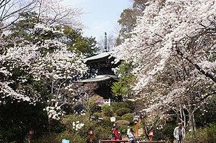 妻沼聖天山の桜