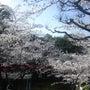津偕楽公園の桜満開!