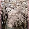 桜のトンネル・青葉区あざみ野の画像