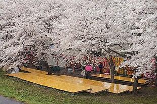 桜まつり会場も閑散としてました