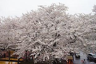満開となった桜の木