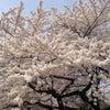 満開に咲き誇る東京の桜。の画像