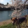 平和公園、元安川を花…