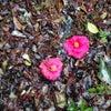 椿も綺麗でした。の画像