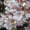 太山寺の岩しだれ桜ー樹齢360年の品格ーの画像