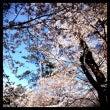 桜だいじょぶかな?