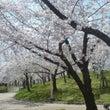 桜 (大阪 毛馬桜之…
