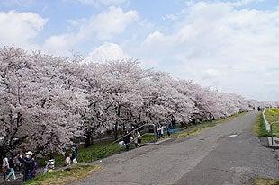 快晴の熊谷桜堤