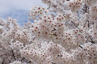 少し葉桜が見えてきた熊谷桜堤の桜