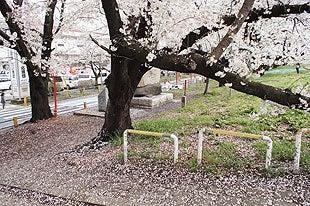 散り桜の様子