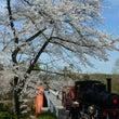 明治村と犬山城の桜は…