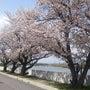 桜、満開です