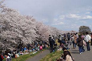 桜の木の下は花見客でいっぱいでした