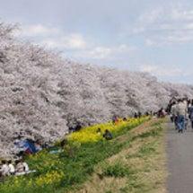 熊谷桜堤の開花状況(…