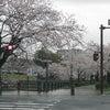 桜並木。の画像