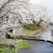 桜満開だより。