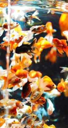 可愛いiphone5壁紙 3枚追加 金魚 744 1392 タビガミ 旅紙 のブログ