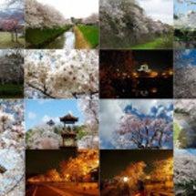 sakura、桜