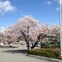 桜というのは