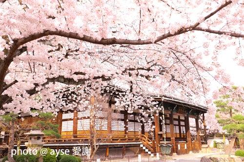 本隆寺の桜吹雪