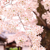 本隆寺の桜吹雪の画像