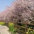 桜を見に散歩しよう!