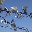 桜、花見【新潟ユニゾ…