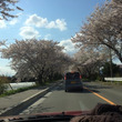 秘密の桜道