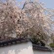 桜・サクラ・さくら。…