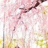 京都御所 春季一般公開の画像