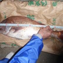 今日の鯛は71cm