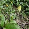 カタクリが咲くの画像