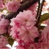 造幣局の桜の画像
