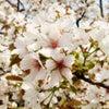 造幣局の桜ショットの画像