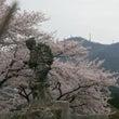 野積小学校の桜満開