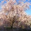 吉賀町も春♪