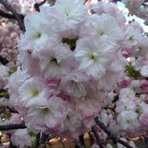 桜のぼんぼり