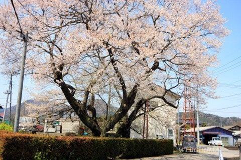 姥桜~八重桜~♪ | 「明日は明日の風がふく」