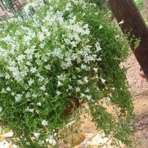 お庭はハーブとミニポ…