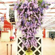 歌舞伎座の藤の花のレ…