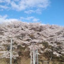 桜前線 北上中