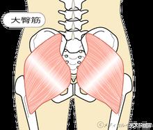 「大臀筋 解剖学 フリー」の画像検索結果