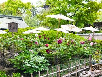 上野春のぼたん祭り
