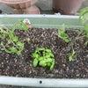 玉ねぎの収穫とトマトの苗を植えたよの画像