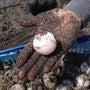 ウミガメ産卵調査開始…
