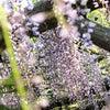 ■【亀戸天神・藤まつり】今年の藤は素晴らしかった!青空の下、藤の花カーテンの中へ。の画像