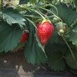 無肥料栽培の味の違い