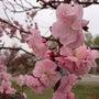 負けるな!桜