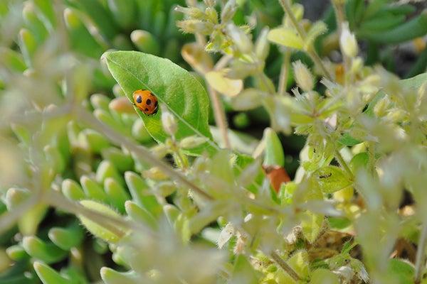 140511_ladybird