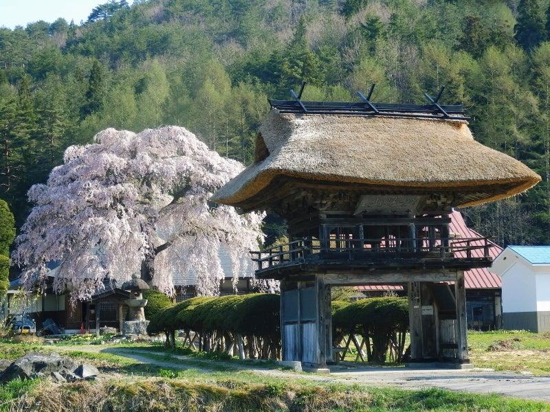 南泉寺のしだれ桜 | 毎日お疲れ0...